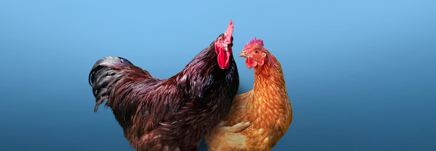 Two chickens standing together